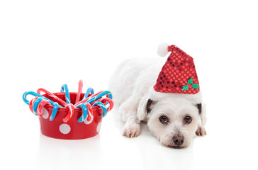 Cute dog with Christmas treats