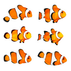 Great collection of a tropical reef fish - Clown fish.