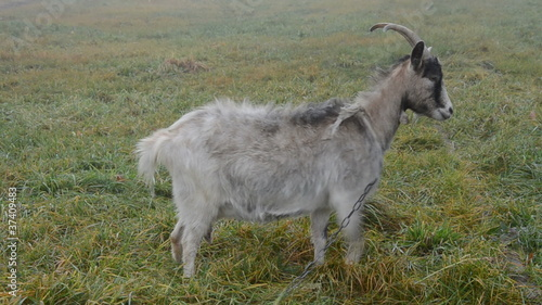goat on the autumn field grass
