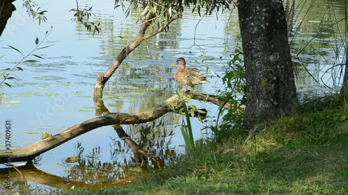 duck on the tree branch and lake coast