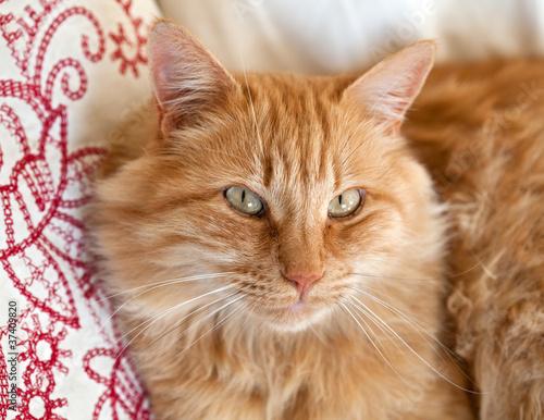 Chat roux tigré (femelle) #2