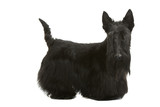 scottish terrier inquiet