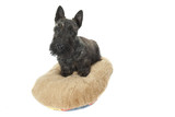 chiot scottish terrier - puppy dog