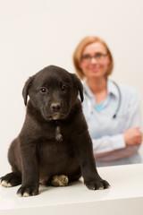 Female veterinary and black labrador puppy