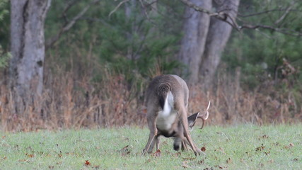 Two whitetail deer bucks fighting in an open field