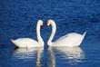 a couple of swans simbolizing heart sign