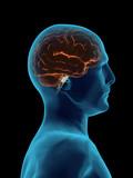 Human Brain Faded Transparent