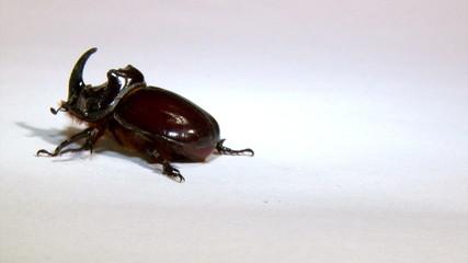 Rhinoceros beetle, isolated on white background