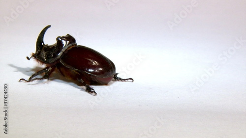 Rhinoceros beetle, isolated on white background