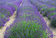 Rows of Lavender Plants in a Field