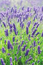 Fleurs de lavande en fleurs dans un champ