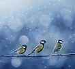 Three Titmouse Birds In Winter