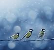 three titmouse birds in winter - 37426256