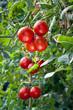 Growing ripe Tomatoes