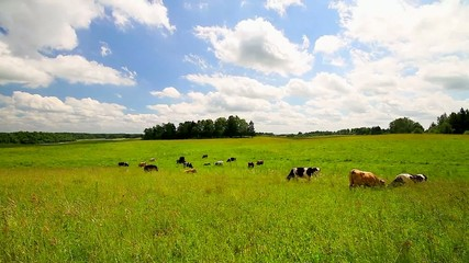 cows on meadow, timelapse