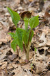 Jack in the pulpit sprouts open