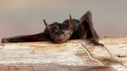 Wet Fruit Bat on a log