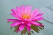 Detaily fotografie prohlíží růžový lotos