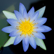 Closeup of Blue Lotus