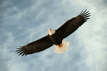 Bald eagle in flight awaiting fish feeding