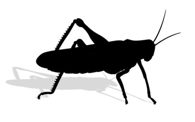 bug - cricket isolated on white background , vector