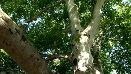 English oak tree