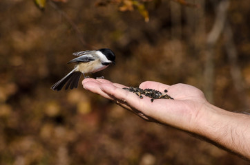 Black-Capped Chickadee Eating From a Hand