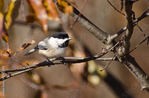 Black-Capped Chickadee perched on a branch in Autumn