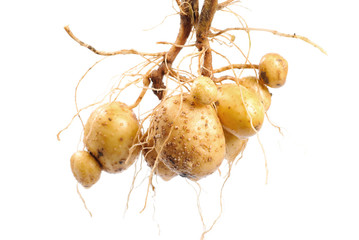 Potato with root