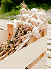 Fresh garlic cloves in a wooden crate or box