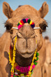 Decorated camel closeup portrait