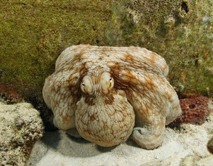 Common Octopus (Octopus vulgaris) - Bonaire