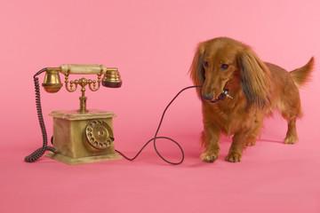 Dackel mit Telefon