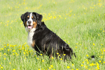 Bouvier bernois - Bernese Mountain Dog