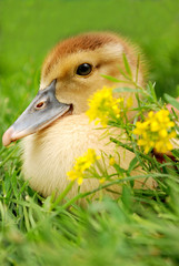 gosling near some field yellow flowers