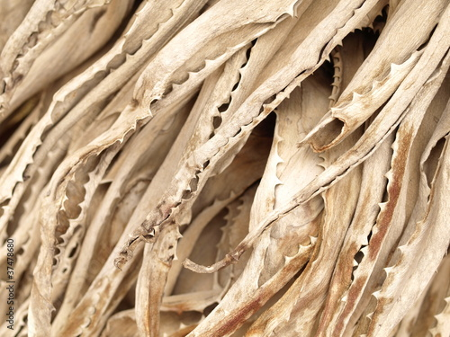 Dry aloe vera plant background