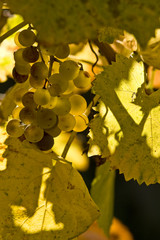 Yellow vineyard gold
