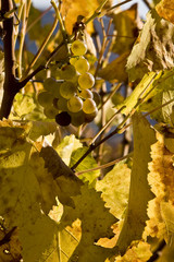 Autumn gold in the vineyard