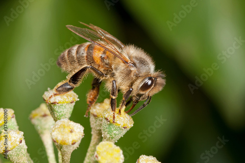 Honeybee on Ivy Flower