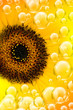 sun flower bubbles