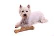 Hund Westie mit großem Knochen