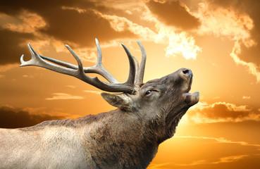 Roaring red deer in a time of estrus
