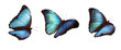 3 blue morphos
