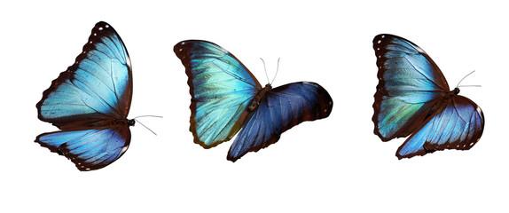 3 blue morphos