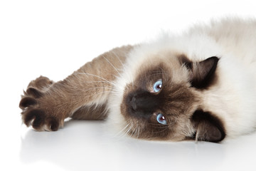 Siamese cat lying on a white background