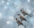 sparrows birds in the winter time