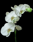 Fototapety White orchid on black background