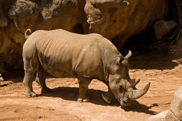 Южный белый носорог