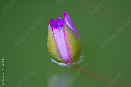 Pink lotus flower bud