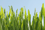 image of green fresh wheat with morning dews